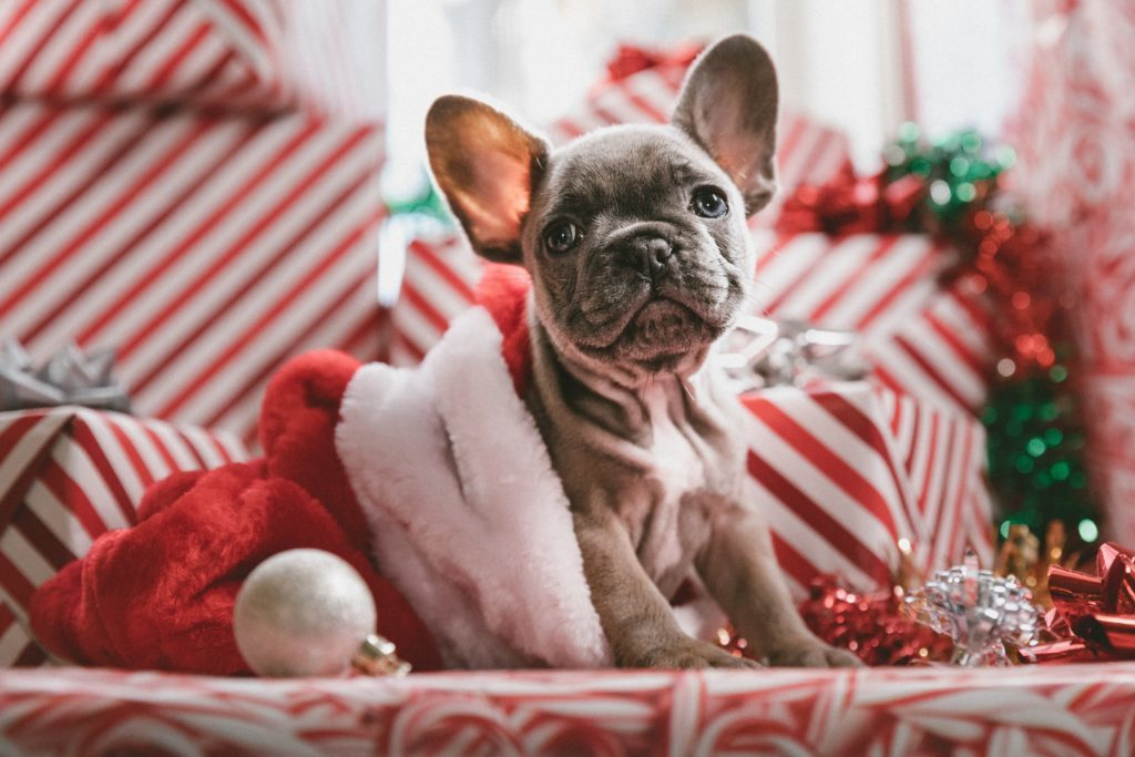 Frenchie at Christmas